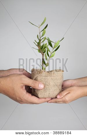 Two Pair Of Hands Holding Olive Plant