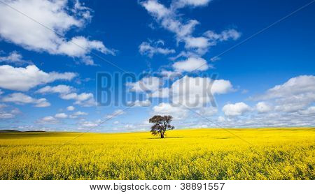 Single tree in Canola Field - Clare Valley, South Australia