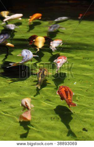 Koi fish swimming in line (Carps)