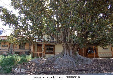 Mintaro Main Street Tree