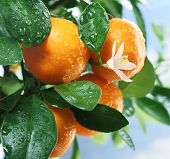 stock photo of tangerine-tree  - Ripe tangerines on a tree branch - JPG