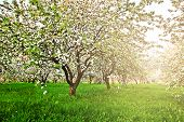 image of early spring  - Beautiful blooming of decorative white apple and fruit trees over bright blue sky in colorful vivid spring park full of green grass by dawn early light with first sun rays - JPG