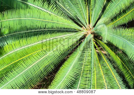 Cycad scientific name is Cycas circinalis L , Families Cycadaceae