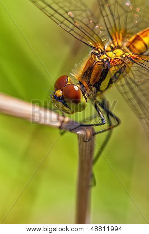 Black Darter - females - macro