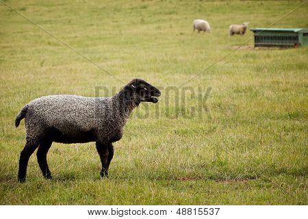 Black Faced Sheep On Farm