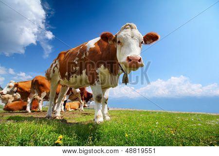 Sonriendo vaca pastando en un prado verde en un día soleado