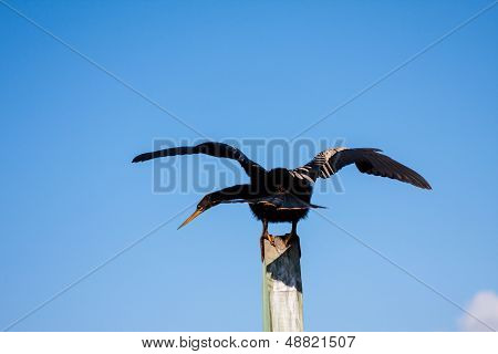 Anhinga With Wings Spread