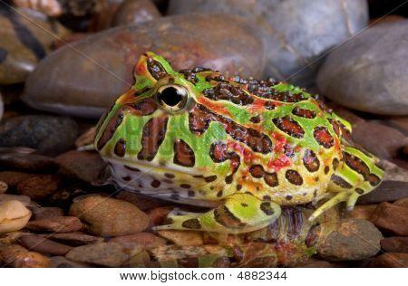 Ornate Frog In Pool