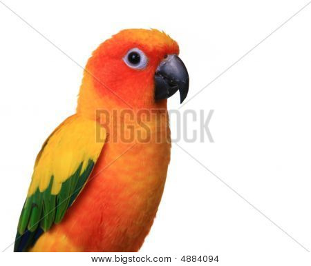 Bright Sun Conure Parrot On White