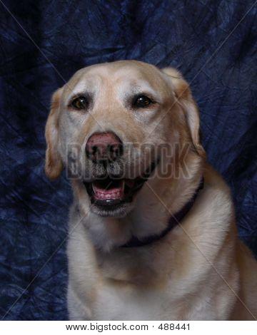 Smiling Labrador