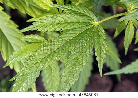 Leaves Of Cannabis