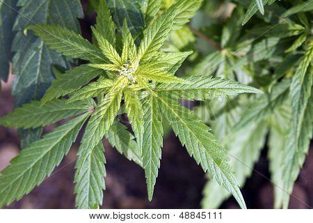 Head Of Cannabis
