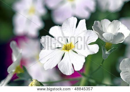 White And Purple Primula