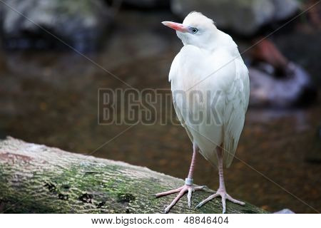 White standing Cattle Egret with soft background