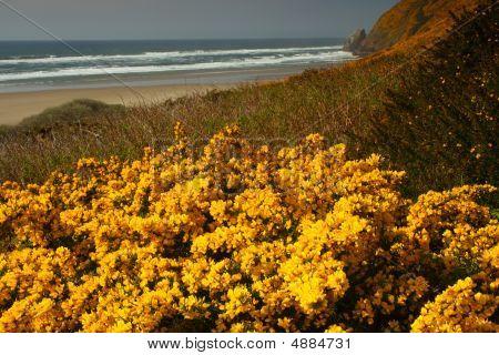 Scotch Broom (cytisus Scoparius)