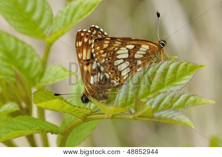 Duke Of Burgundy Butterflies