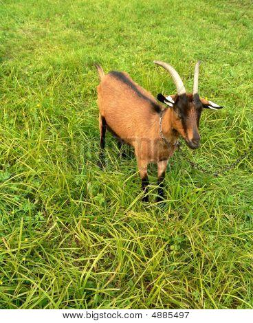 Brown Black Goat