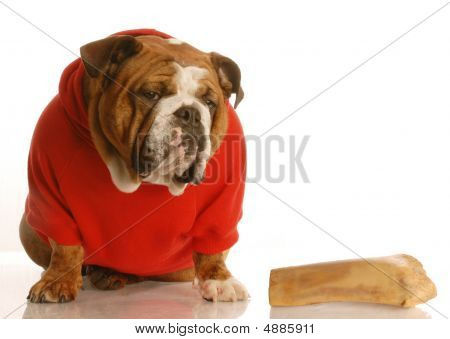 Bulldog In Red Shirt With Large Bone