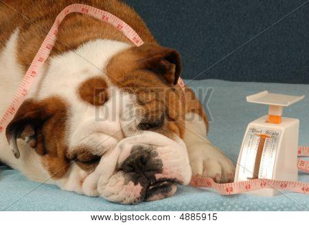 Bulldog On A Diet