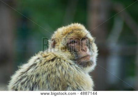Resting Berber Ape