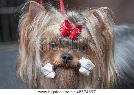 Portrait Of York. Dog Show.