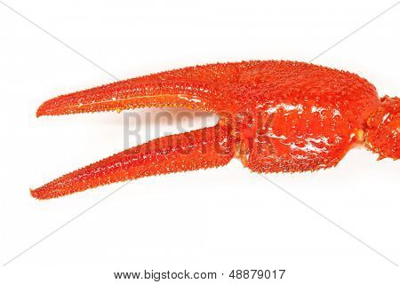 Claw crayfish closeup. isolated on white background