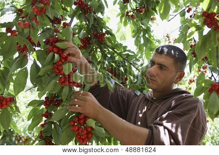 Middle aged man plucking fresh cherries from tree