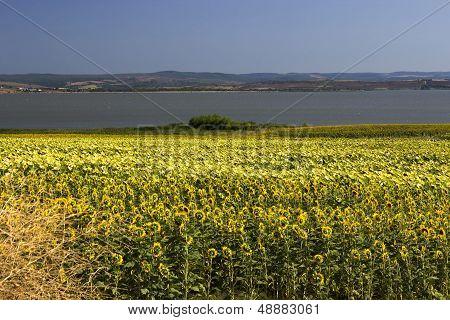Sunflowers Near The Sea