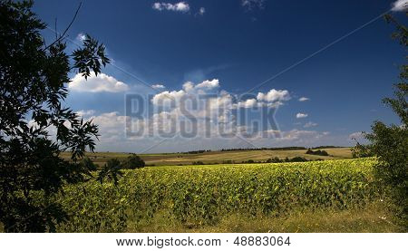 Sunflowers With Cloudy Blue Sky