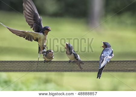 Barn swallow family