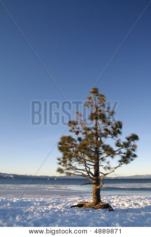 Tree At Lake Tahoe In Winter