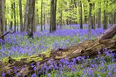pic of harebell  - Beautiful carpet of bluebell flowers in Spring forest landscape - JPG