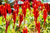 stock photo of bromeliad  - Red Bromeliads  in the glass house of botanic garden - JPG