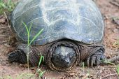 picture of terrapin turtle  - Snapping turtle - JPG