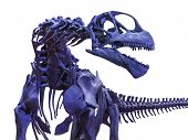 pic of dinosaur skeleton  - Blue menacing tyrannosaurus rex skeleton on white - JPG