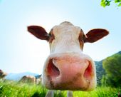 stock photo of cow head  - Head of cow walking on a green meadow at sunny day - JPG