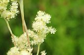 picture of meadowsweet  - Meadowsweet - JPG