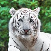 stock photo of wildcat  - Close portrait of white tiger in the wild - JPG