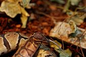 foto of harmless snakes  - Photo of a ball python eating one white mouse - JPG