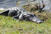 stock photo of alligator  - Aggressive alligator in Everglades park in Florida - JPG
