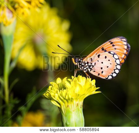 Tawny Coster Butterfly On Marigold Flower