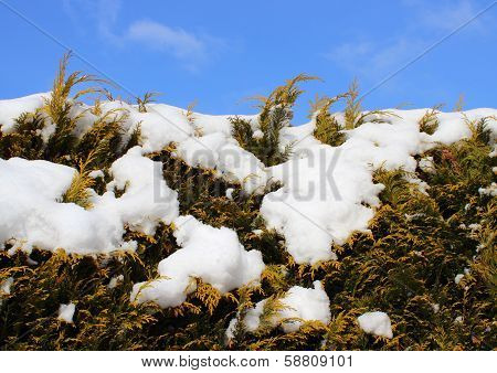 Evergreen Thuja Hedge Background With Snow And Sky