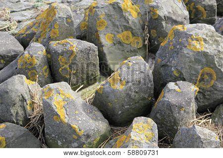 Lichen On Stones In The Wadden Sea