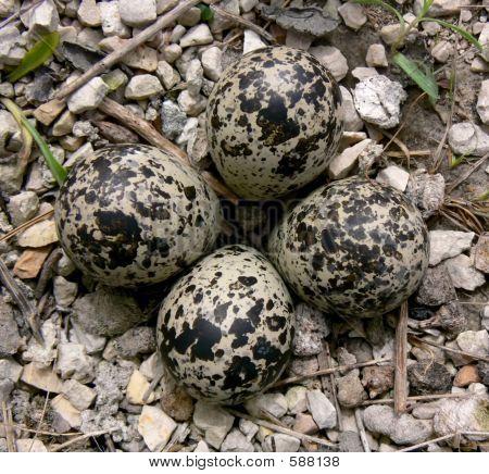 Killdeer Eggs In Spring.