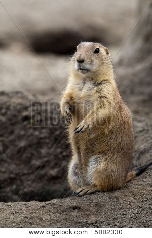 Prarie Dog Stading Next To Hole