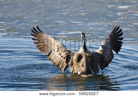 Canada Goose Encountering Ice Flow
