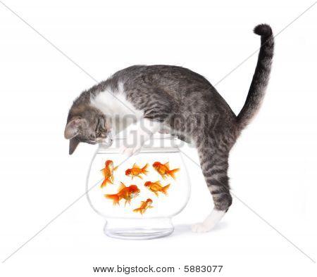 Cat Fischerei für gold Fische in ein Aquarium-Schüssel