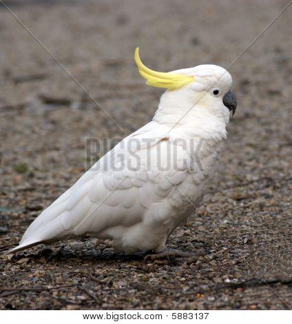 Walking parrot
