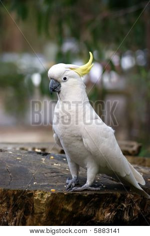 Amazing portrait of cockatoo
