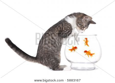 Gatinho assistindo peixe nadar com patas em aquário